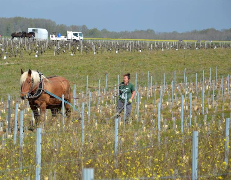cheval dans vignes