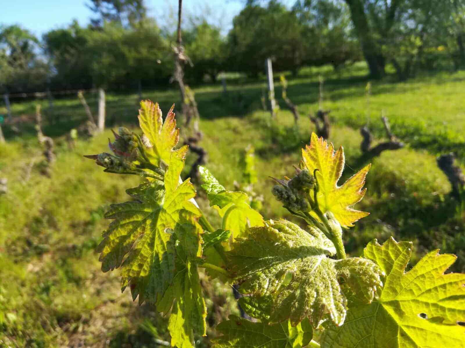 petit bourgeons vigne