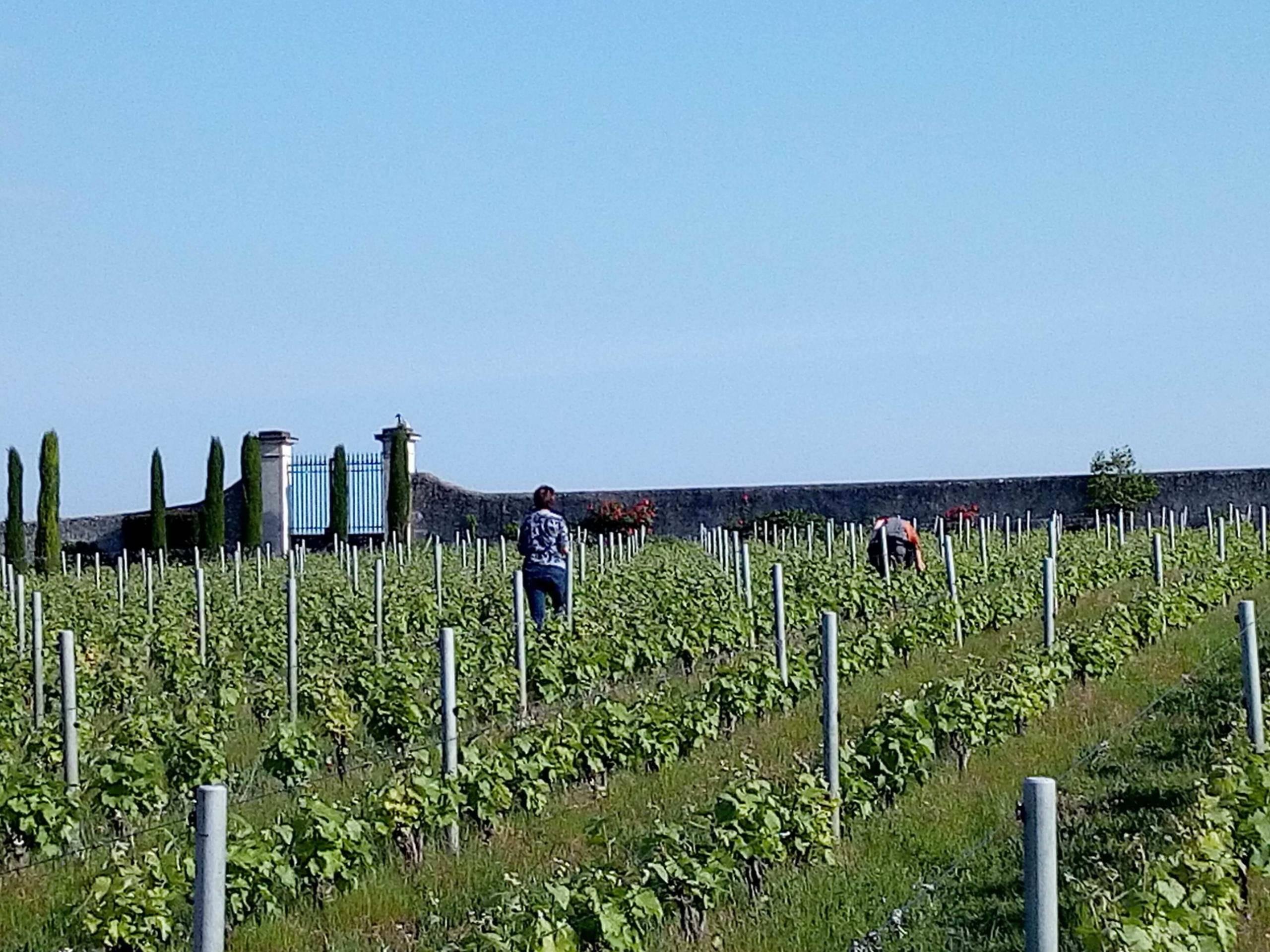 récolte rangées de vignes