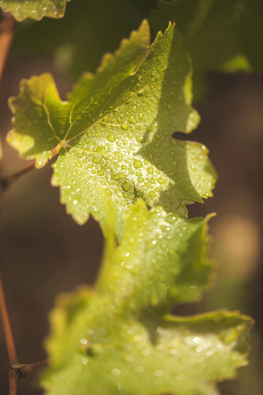 feuille verte vigne