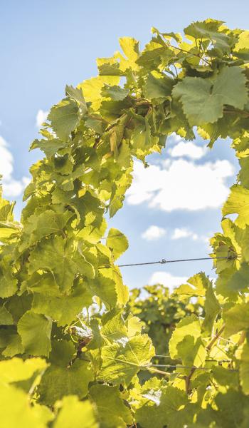Tressage vigne Vouvray